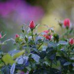 roze ogrod na 5